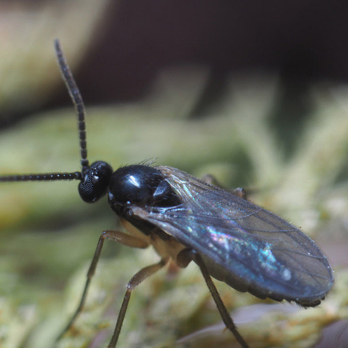 Sciarid Flies