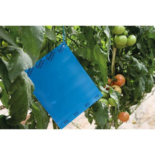 Drystick Large Blue Glue Trap 25 x 40cm (UK425)