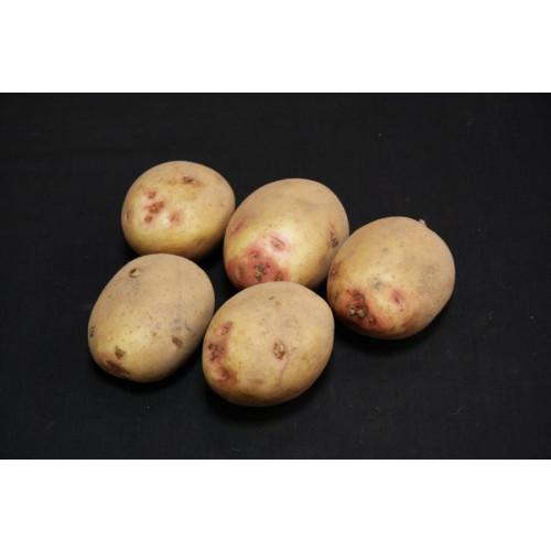 Cara Seed Potato - Maincrops