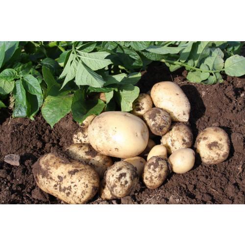 Accord Seed Potato - First Earlies
